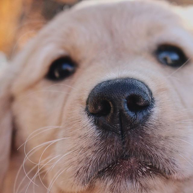 Heres A Early Morning Boop For You Golden Goldenretriever Petsmart Canada Heres A Early Morning Boop For You Golde With Images Golden Retriever Early Morning Boop