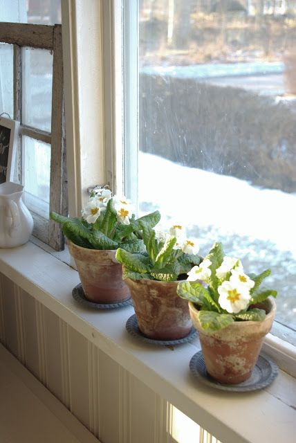 Dainty white primula flowers from this lovely #houseplant