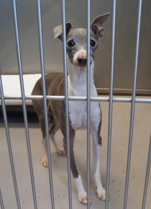 Meet Rupert, a Petfinder adoptable Italian Greyhound Dog | Minneapolis, MN | Age and Size: Approximately 6 years old and 12-13 lbs.About Me: I was recently rescued from a puppy...