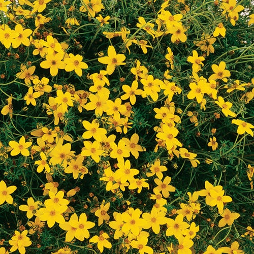 Peter's Gold Carpet - Bidens ferulifolia