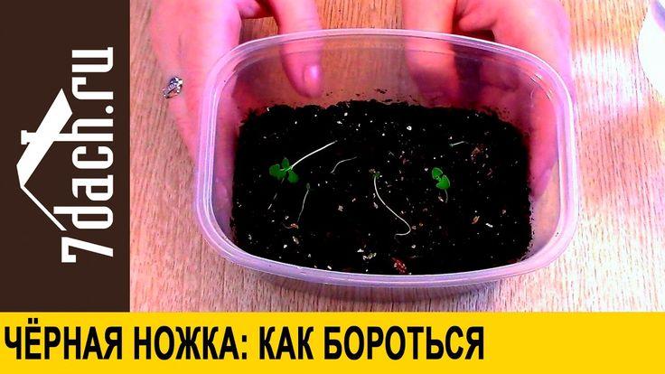Черная ножка на рассаде: как бороться - 7 дач