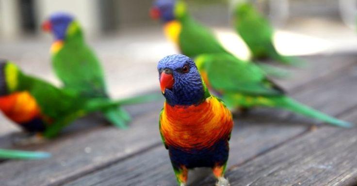 Rainbow lorikeet ou louro do arco-íris (Trichoglossus moluccanus) é um tipo de papagaio nativo da Austrália. É comum ao longo da costa leste, do norte de Queensland para o sul da Austrália e Tasmânia. Seu habitat é a floresta, e região de arbustos costeiros.  Fotografia: Rafael Alvez / UOL.  https://viagem.uol.com.br/album/2016/02/19/observar-a-vida-selvagem-e-um-passeio-indispensavel-da-terra-dos-cangurus.htm#fotoNav=6