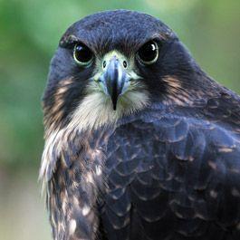 Wingspan National Bird of Prey Centre 1164 Paradise Valley Road, Rotorua, New Zealand | 07 357 4469
