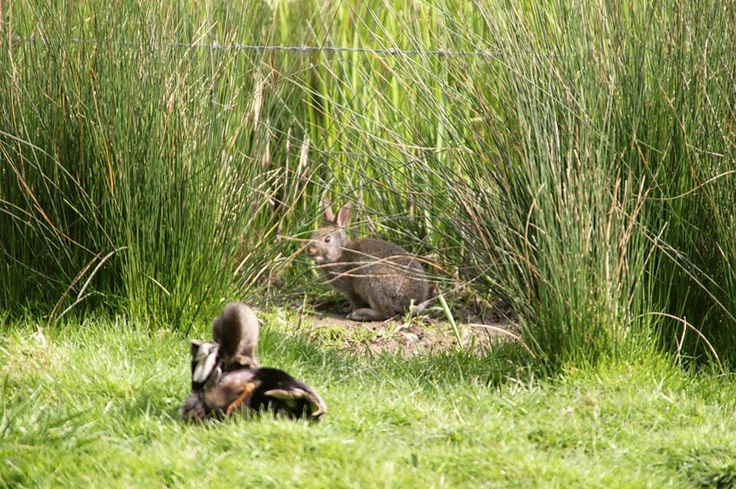 Cute wildlife at Slimbridge WWT. A rabbit seeing what a duck is up to.