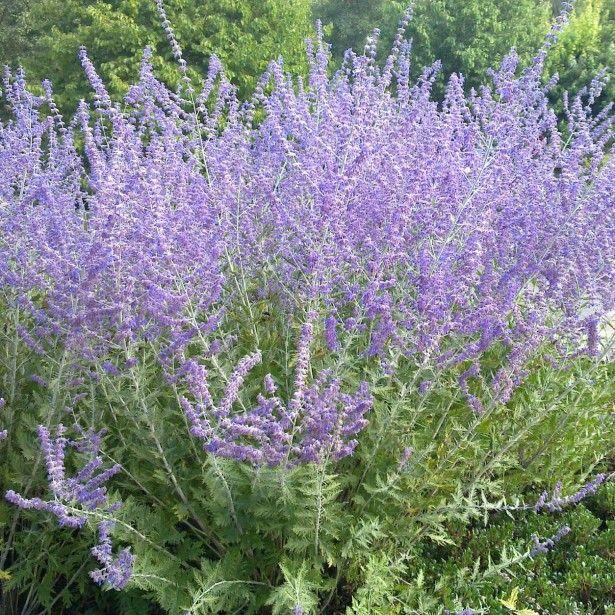 Perovskia atriplicifolia Blue Spire - Sauge de Sibérie - sauge d'Afghanistan