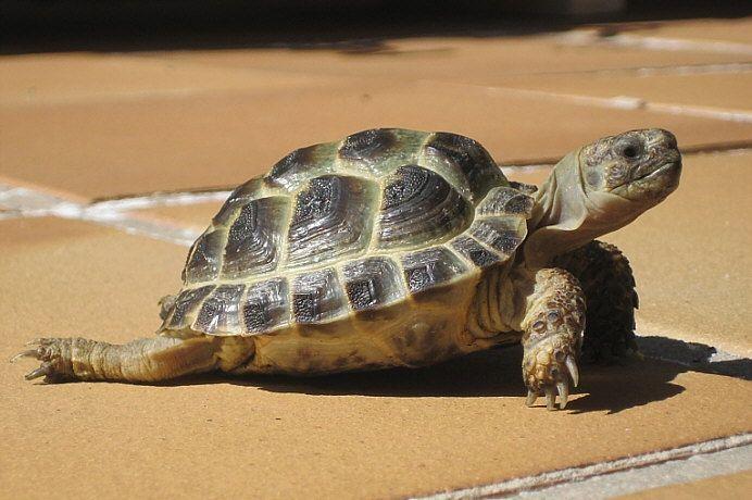 Greek tortoise  Griechische Schildkröte - Tierbild des Tages 11.11.2010    animals.yakohl.com
