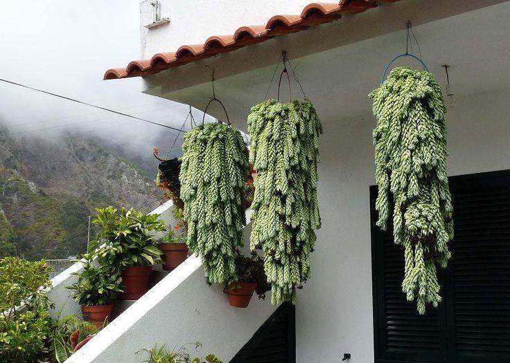 Thumb Aprenda a plantar RABO-DE-BURRO,é coisa linda!!!!