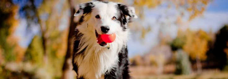 Adopt a Dog Through New Mexico Border Collie Rescue Welcome to this web site dedicated to the rescue of Border Collies within New Mexico. We do not have the facilities to house dogs, rather we list rescuers, helpers and adoptable Border Collies. Help us save another homeless animal. Visit our furry friends available for …