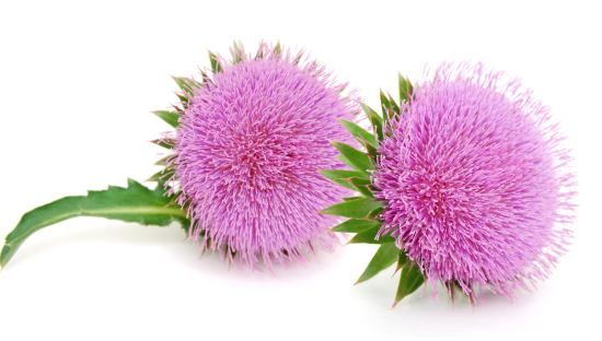 Health benefits of milk thistle include its ability to detoxify liver, speed organ repair, treat certain symptoms of cancer, treat fungal infections, cure hangovers, protect against side effects of pharmaceuticals, slow onset of Alzheimer's disease, reduce risk of heart disease.