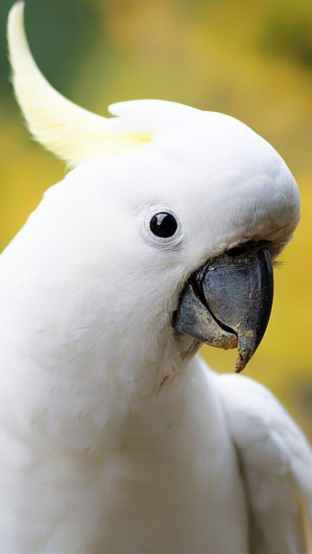 White Cockatoo Big Parrot Beautiful Birds White Parrot Cacatua Alba Umbrella Cockatoo Parrot Drawing Parrot Image Parrot