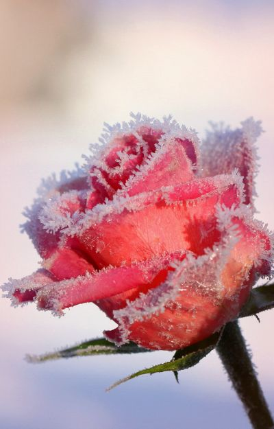 Frozen rose not in bloom yet epic winter rosabella beauty