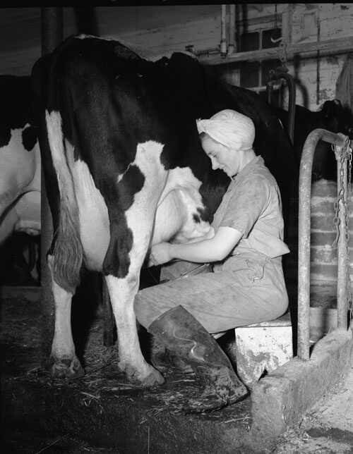 """lady milking cow""."