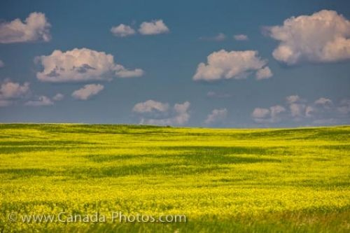 Picture of the soft summer clouds floating above the field of canola in the Qu'Appelle Valley in Saskatchewan, Canada.