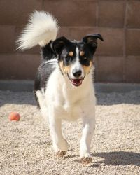 Bobby is an adoptable Jack Russell Terrier Dog in Winnipeg, MB. Please remember to bring a leash and collar when you come to get your new best friend. We are running short!. Thanks and hope to see you...