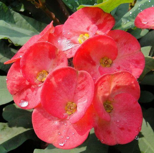 Молочай миля – терновый венец.  Растение это достаточно неприхотливое, а внешний вид порадует Вас в любой обстановке! Молочай прекрасный, молочай миля (Эуфорбия миля), латинское — Euphorbia speciosa, народное — терновый венец. Эуфорбия — этот достигающий у себя на родине внушительных размеров колонновидный кактус предпочитает ровные условия и не очень прохладное содержание зимой. В полном блеске предстает только при культивировании в оранжерее. Фото: © Rana Pipiens