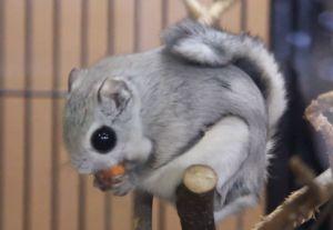 The Japanese Dwarf Flying Squirrel AKA Momonga = cutest squirrel ever