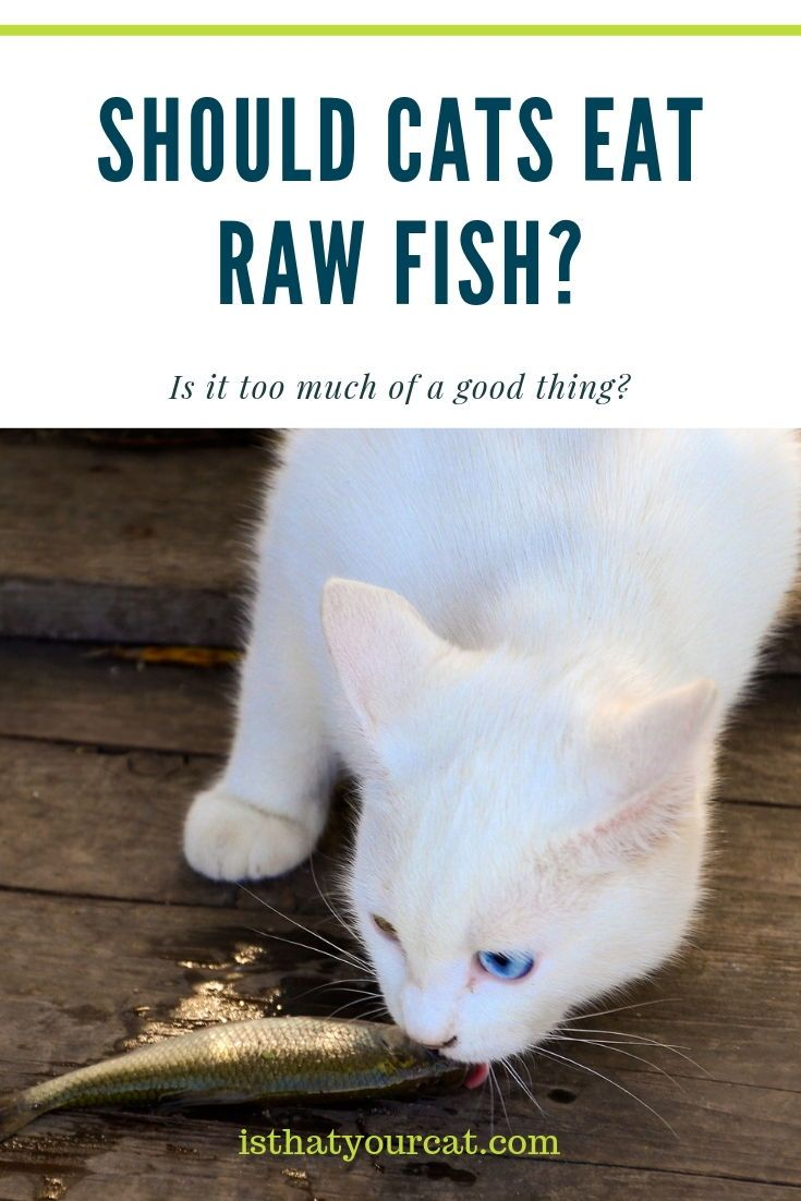 Cats Can Eat Raw Fish But It Is All About Moderation Raw Fish Alone Will Not Supply All Of The Nutriensts That Cats Need Catfo In 2020 Cat Nutrition Cats Eating Raw