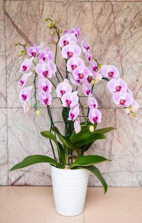 Orchidej   Orchideje nemají v lásce příliš častou zálivku. Ideální je, když je jednou za deset dní postavíte i s květináčem do nádoby s vodou a přibližně za hodinu vyndáte, přebytečnou vodu slijete a necháte dalších deset dní bez zalévání, aby substrát téměř úplně proschl. V žádném případě květinu nenechávejte stát ve vodě třeba přes noc.