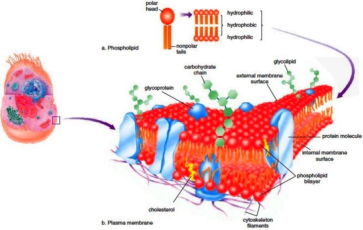 biological membrane integrity How can you test membrane permeability cell membranes define cells, and so  are fundamental to our understanding of biology much more than just a barrier.