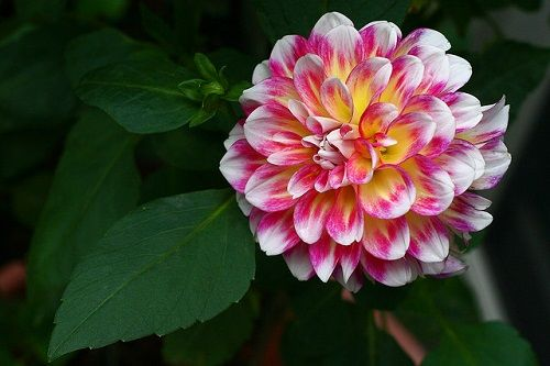 How To Grow And Care For The Dahlia Flower In Containers