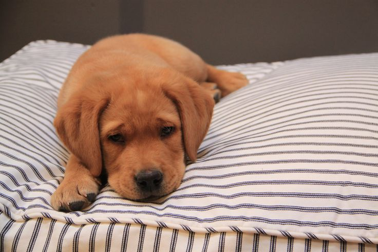 Guus our 8 week old fox red Labrador being Cheeky on his Lexington dog pillow