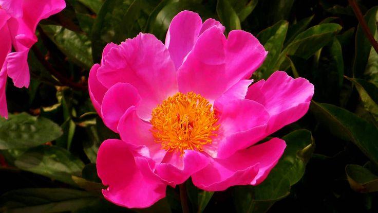 ERNESTO CORTAZAR - RHAPSODY ON A THEME OF PAGANINI - BEAUTIFUL FLOWERS I...