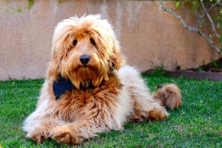 Adorable Australian Labradoodle Dog