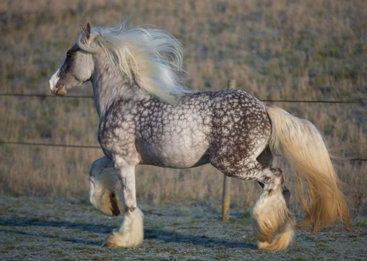 Amazing horse - I believe it's a dapple colored Gypsy Cob.