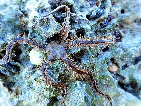 Brittle Starfish Photograph - Brittle Star Fish by Carol McGunagle