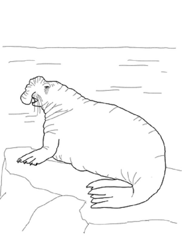 elephant seal coloring page coloring pages pinterest coloring elephant seal and elephants. Black Bedroom Furniture Sets. Home Design Ideas