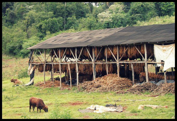 Secadero de tabaco- El Soberbio - Misiones