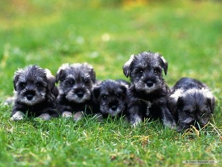 Adorable schnauzer pups!!