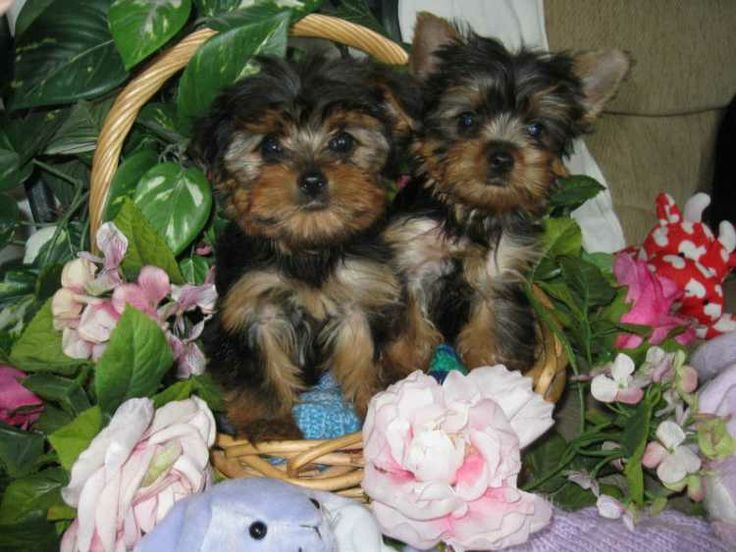 REGISTERED MALE AND FEMALE TEACUP YORKIE PUPPIES Micro