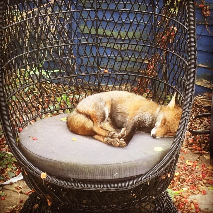 Caught this fox napping in my garden