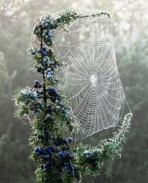 ✯ Spider Web in Blueberry Branches - Amazing Work!