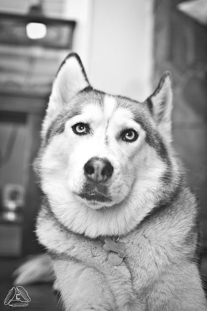 Pin De Phil Stone En Siberian Husky Husky And Malemutes Pinterest
