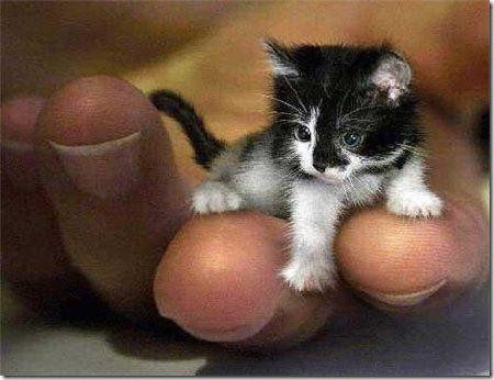 O pequeno Peebles na mão de seu dono      Dentre os inúmeros recordes do Guiness Book está  Peebles, o menor gato do mundo, com cerca de 1,4...