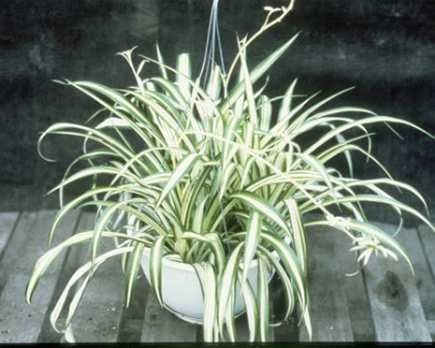 14 Best Images About Garden Spider Plant On Pinterest