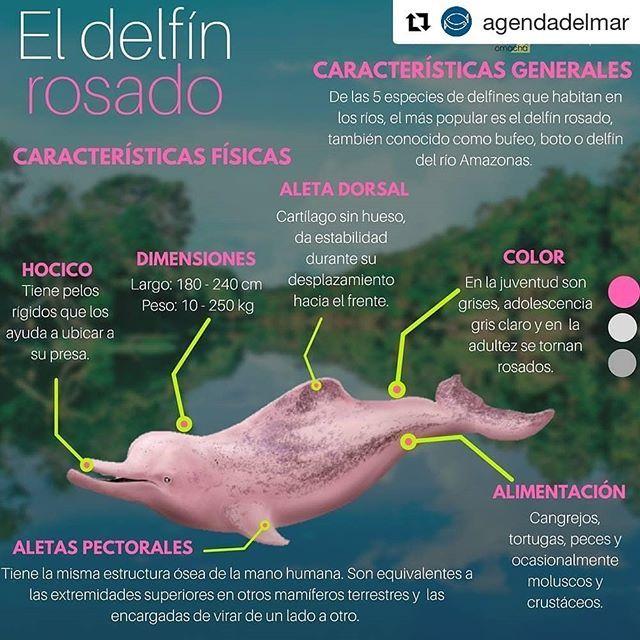 El Delfín Rosado Infografía Infographic Repost Agendadelmar Get Repost Te Invitamos A Estar Muy Pendiente Del Estreno En Kids Education Fauna Kids