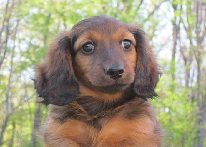mini ature dachshunds | AKC MINIATURE DACHSHUND PUPPIES FOR SALE! in Long Beach, Indiana For ...