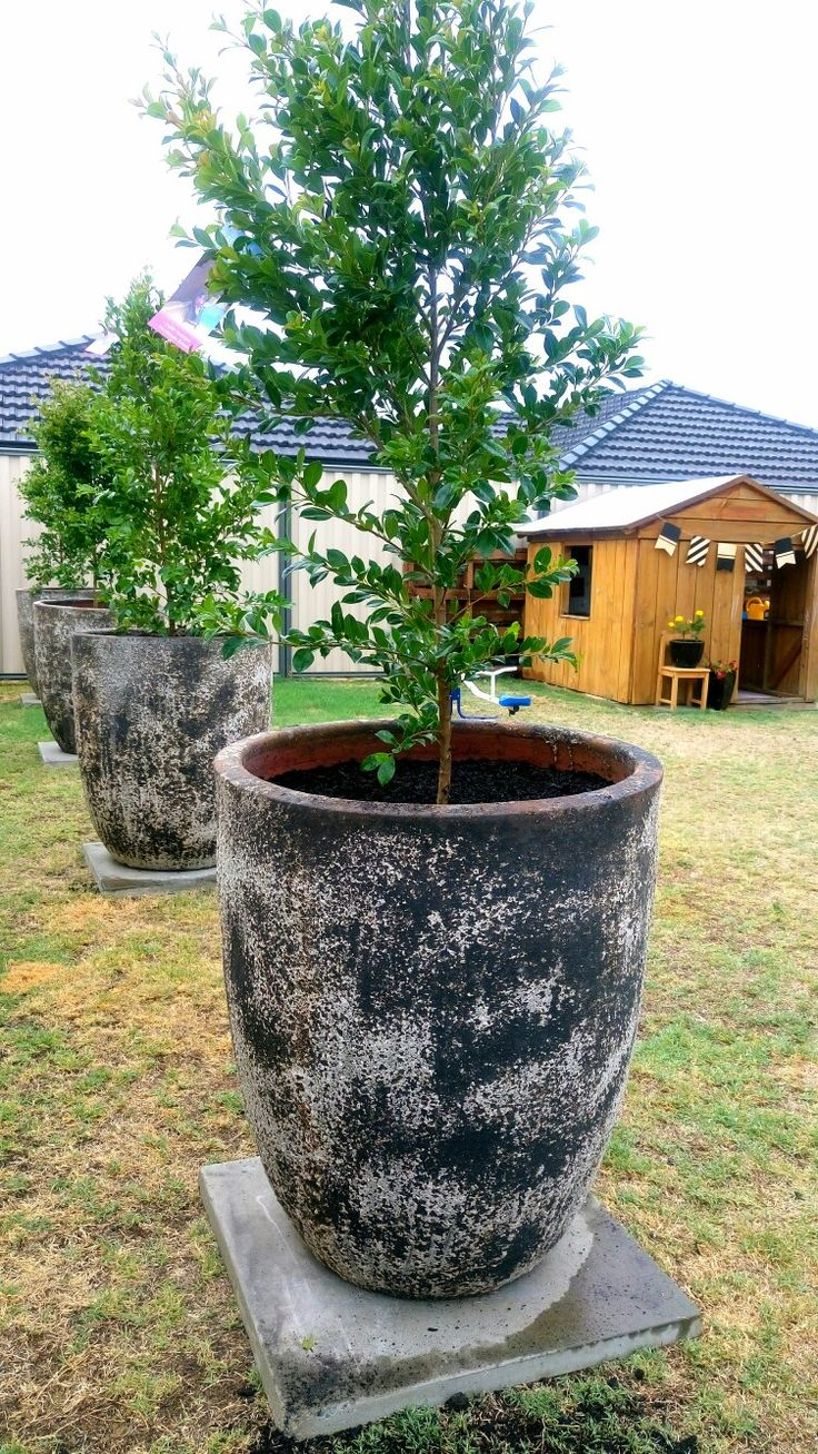 pots on cement slab, Backyard bliss Lilly pilly