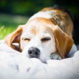 Schokolade & Hund – Viele wissen es ja schon, Schokolade für den Hund ist giftig! Aber was macht man wenn es so weit kommt und der Hund frisst unabsichtlich etwas? Beaglefreunde kennen da…