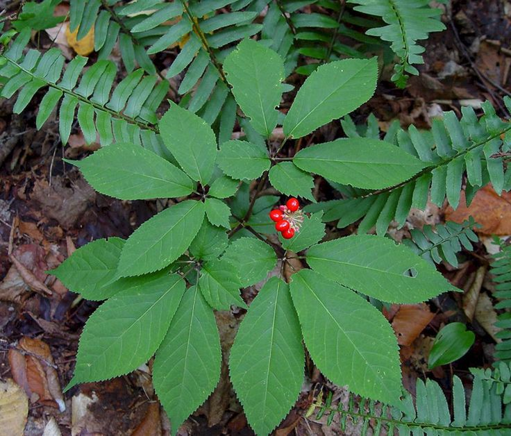 45+ Gorgeous Wild Ginseng Plant Ideas That You Need To Have In Your Garden – DECOREDO