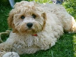 cavoodle full grown - Google Search