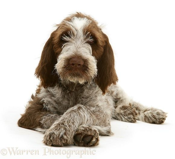 Dog: Brown Roan Spinone pup photo