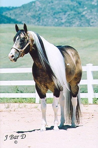 Passion Buck, American Paint Horse Association Stallion in Colorado | Pinto Horses for Sale More of HIM