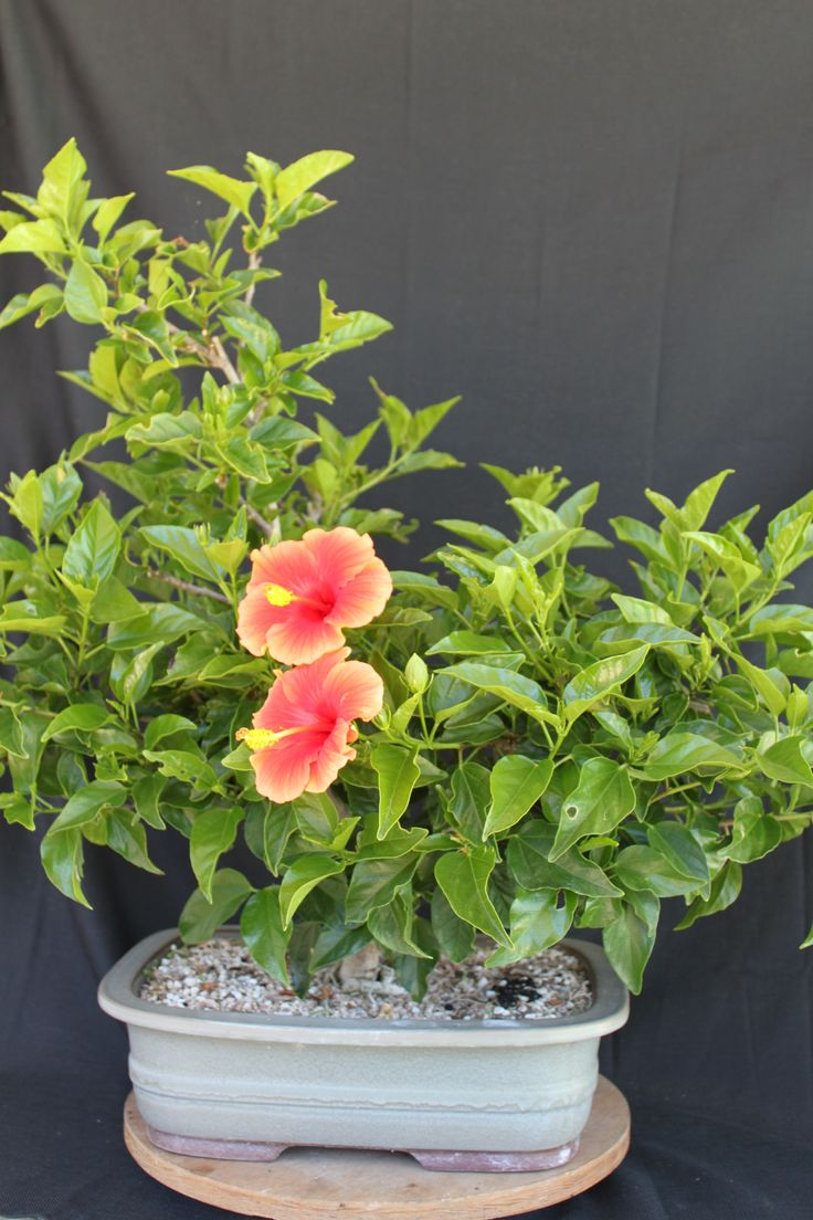 108 best Гибискус images on Pinterest   Bonsai, Hibiscus and Bonsai ...