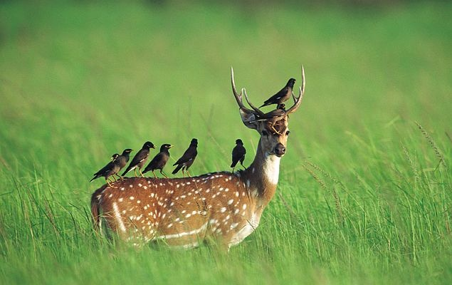 Chital / Cheetal - Spotted Deer