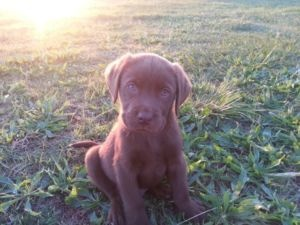 Chocolate labrador puppies Dogs and puppies for adoption