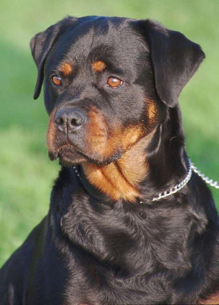 Rottweiler Dog Photo Once Again Dog Breeds In The Crosshairs